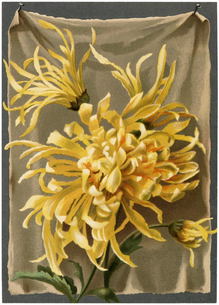 yellow mums image