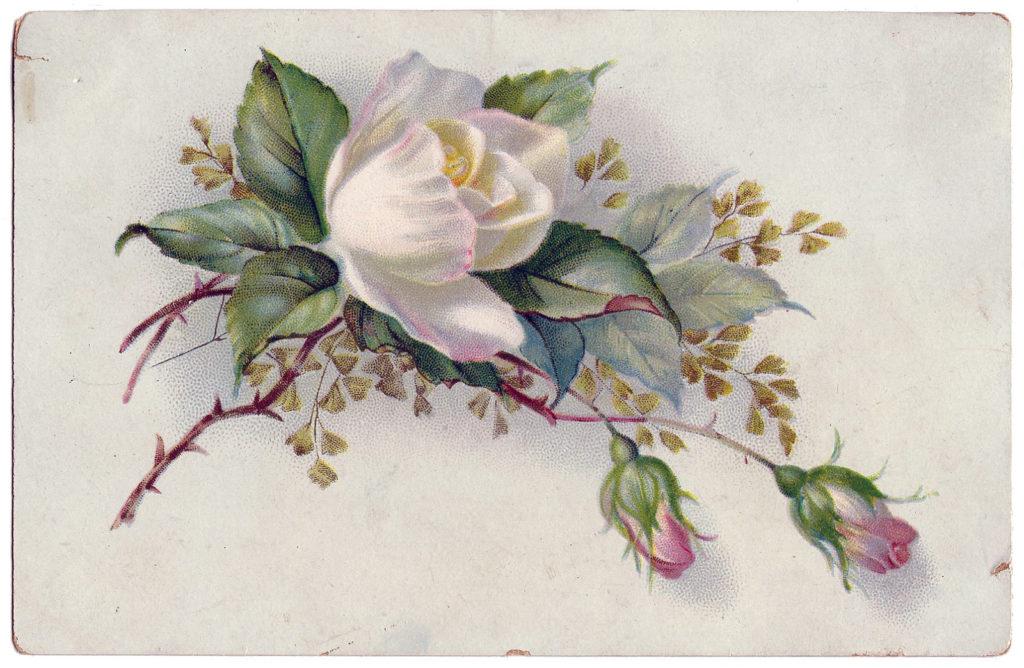 white rose floral border image