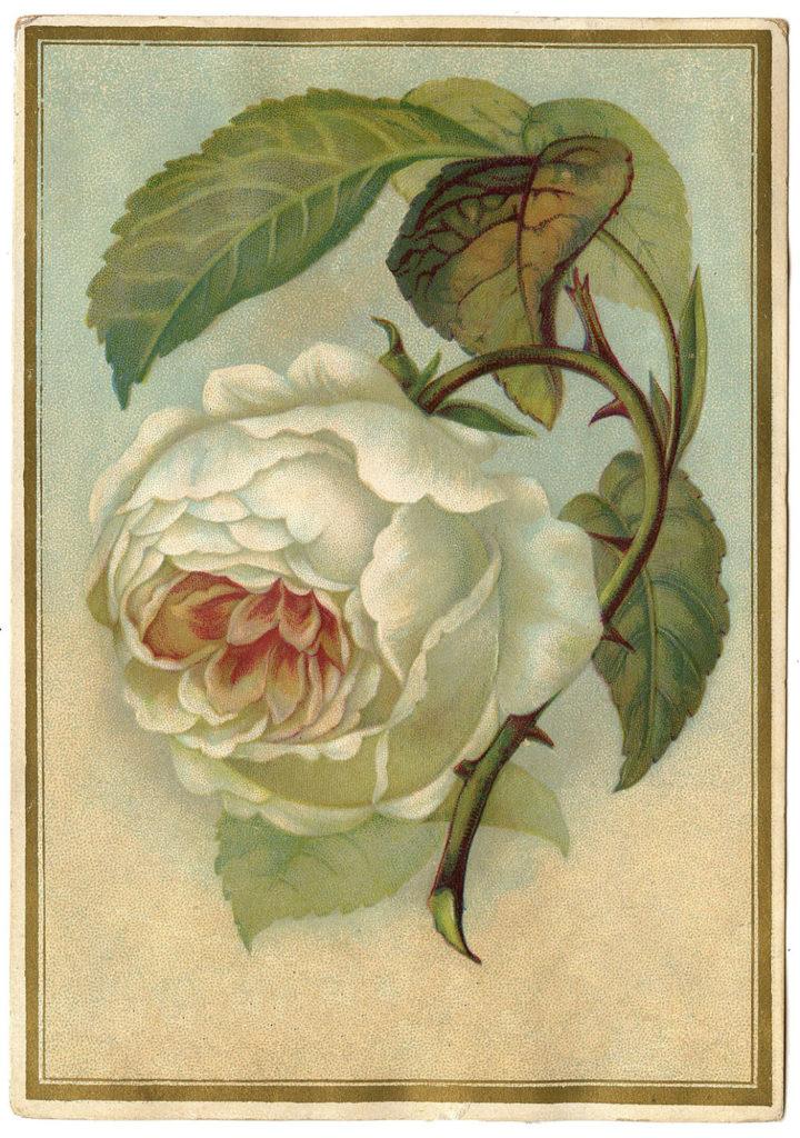 white rose vintage image