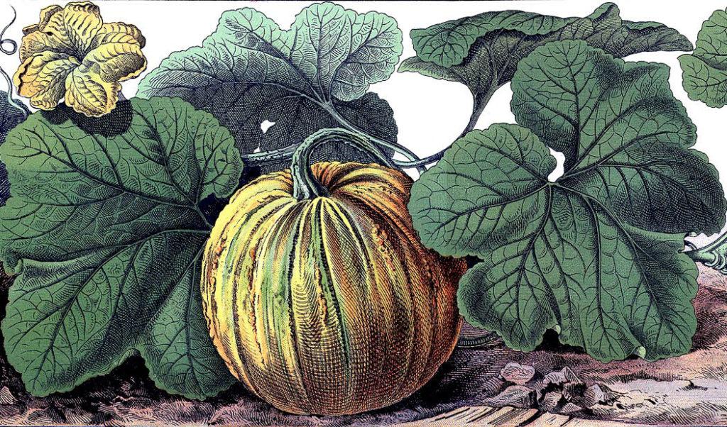 pumpkin vine image