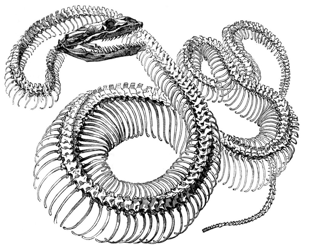 snake skeleton clipart image