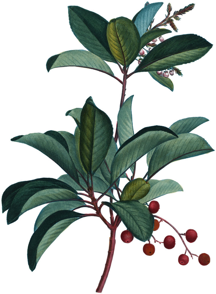 antique berry branch illustration