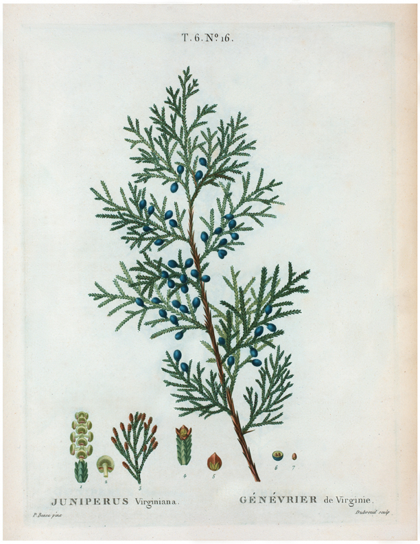 botanical juniper branch berry illustration