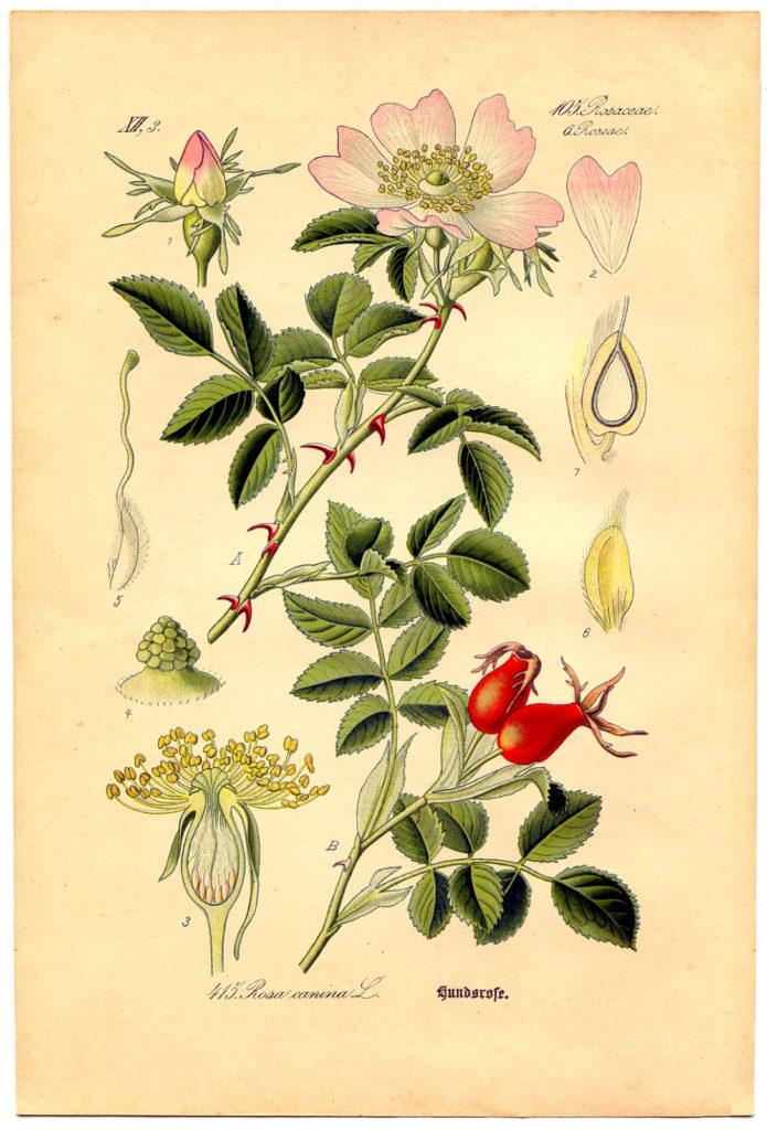 botanical rose vintage image