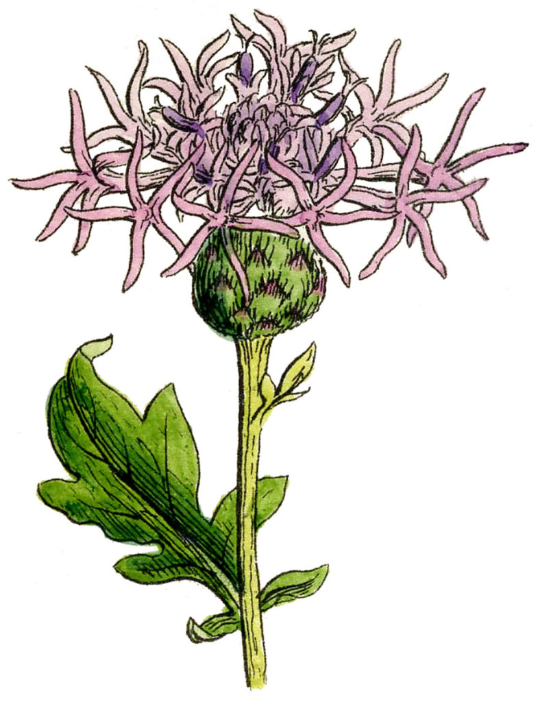 vintage thistle pink illustration