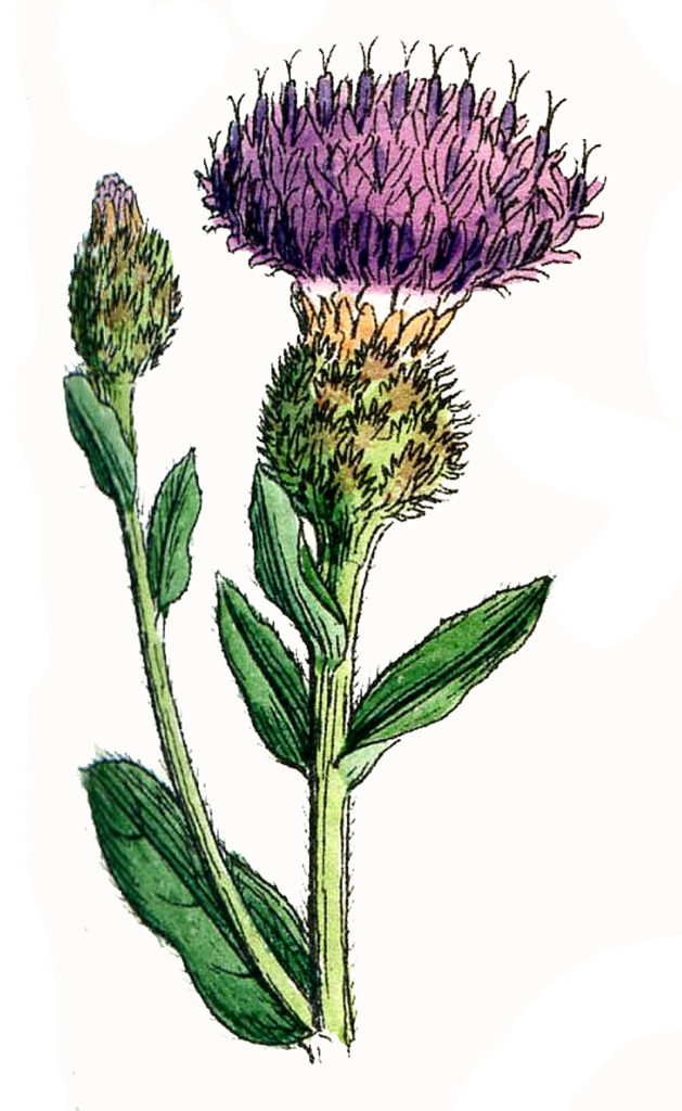 botanical thistle image