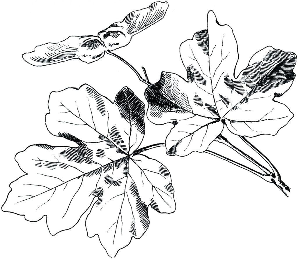vintage autumn maple leaves clip art