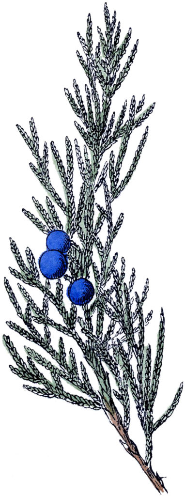 vintage evergreen blue berries image