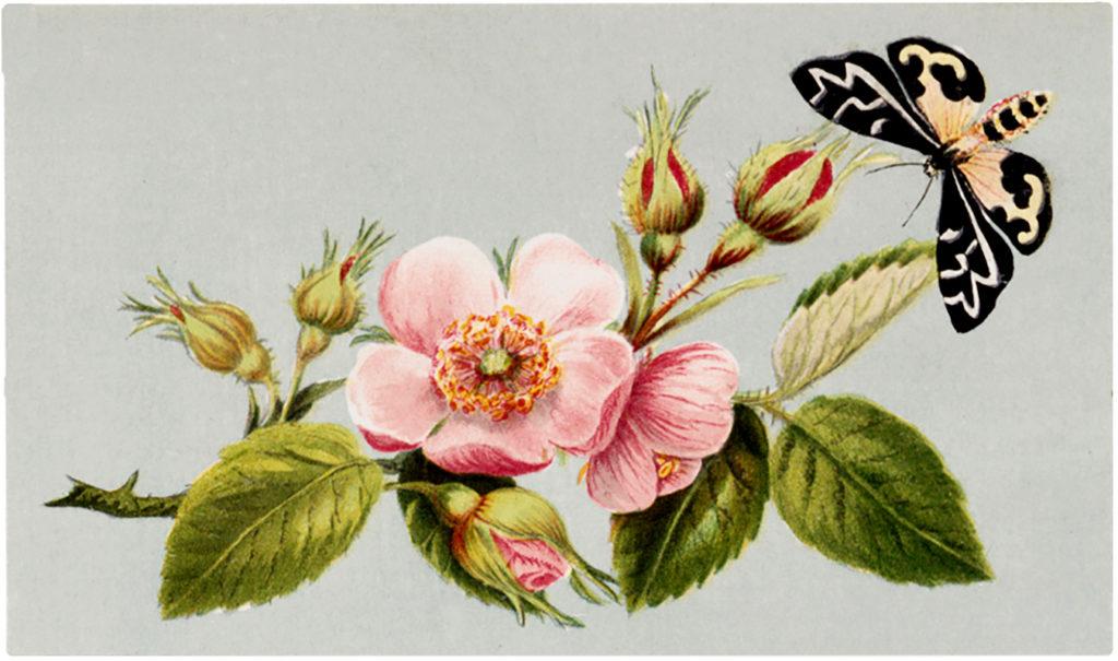 vintage wild rose moth image