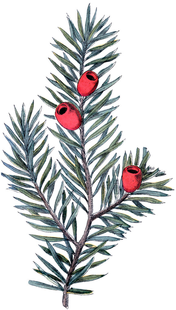 christmas branch red berry clipart