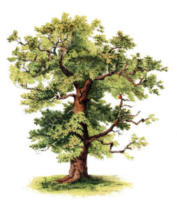 Oak Tree Clipart Full Color