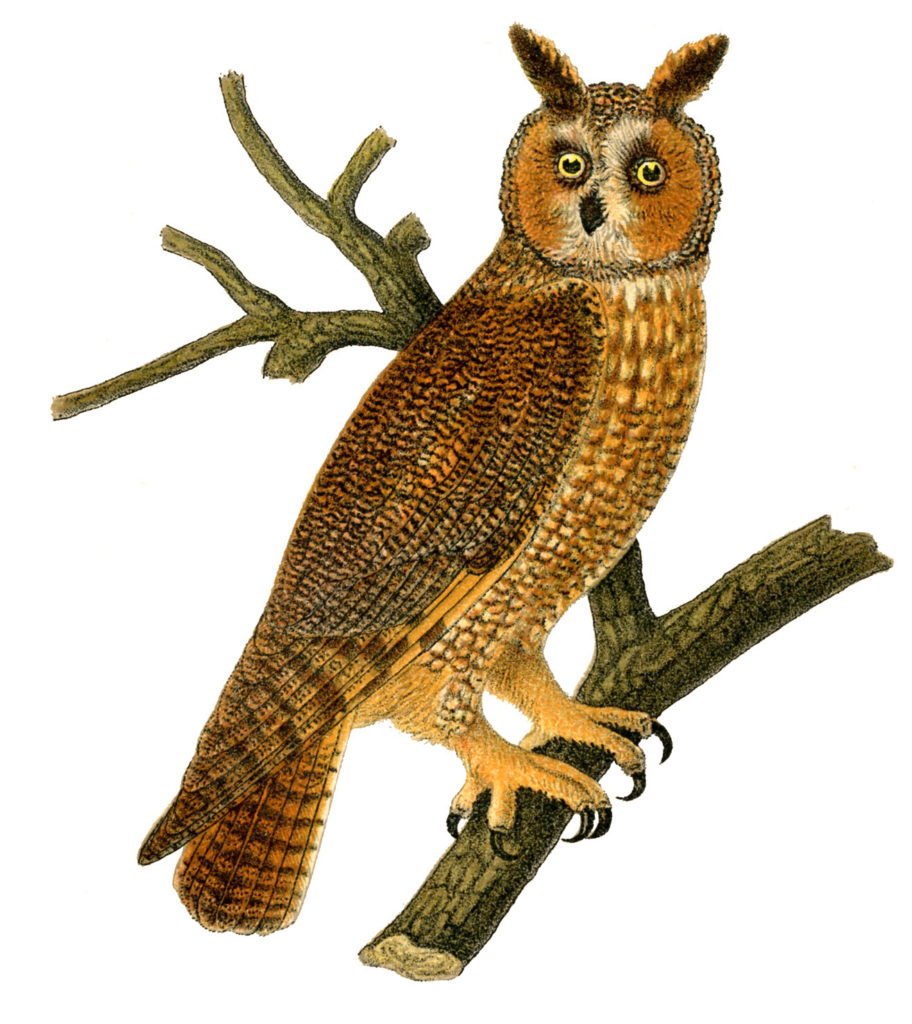 Owl on Branch Image