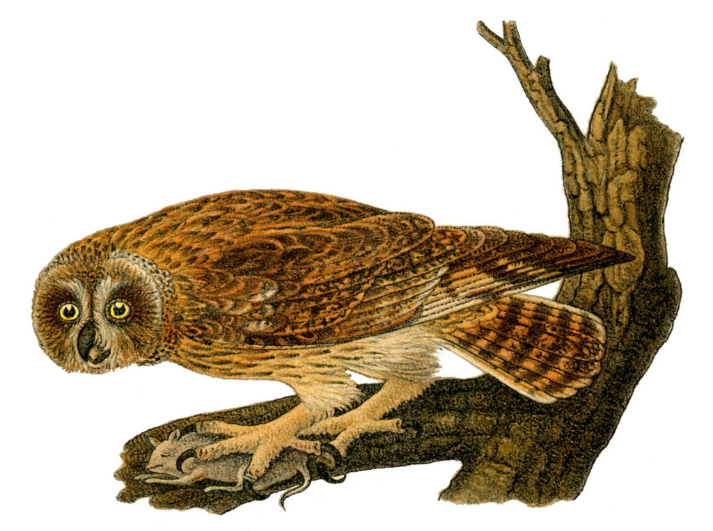 Owl with Prey Image