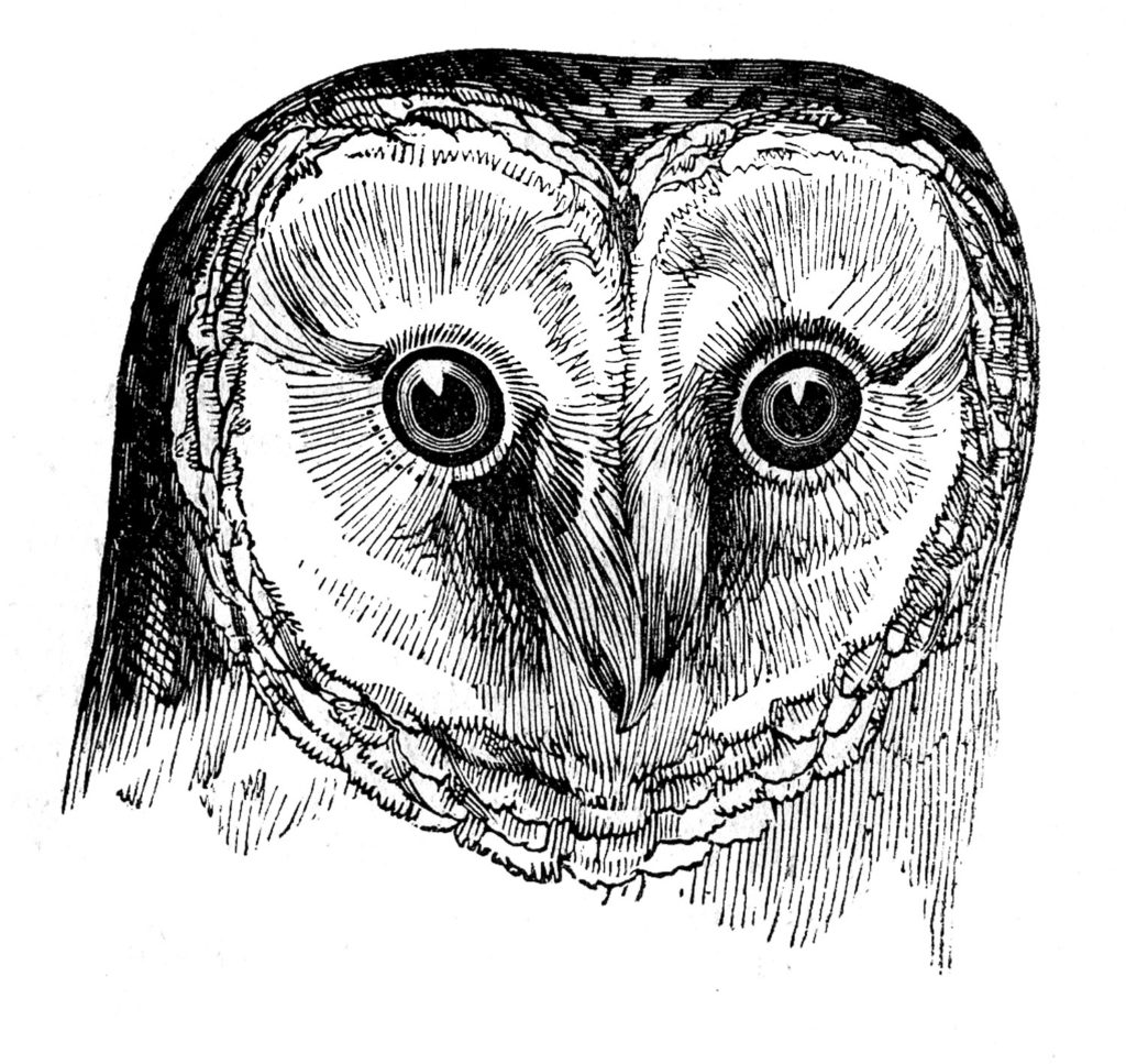 black white barn owl head image