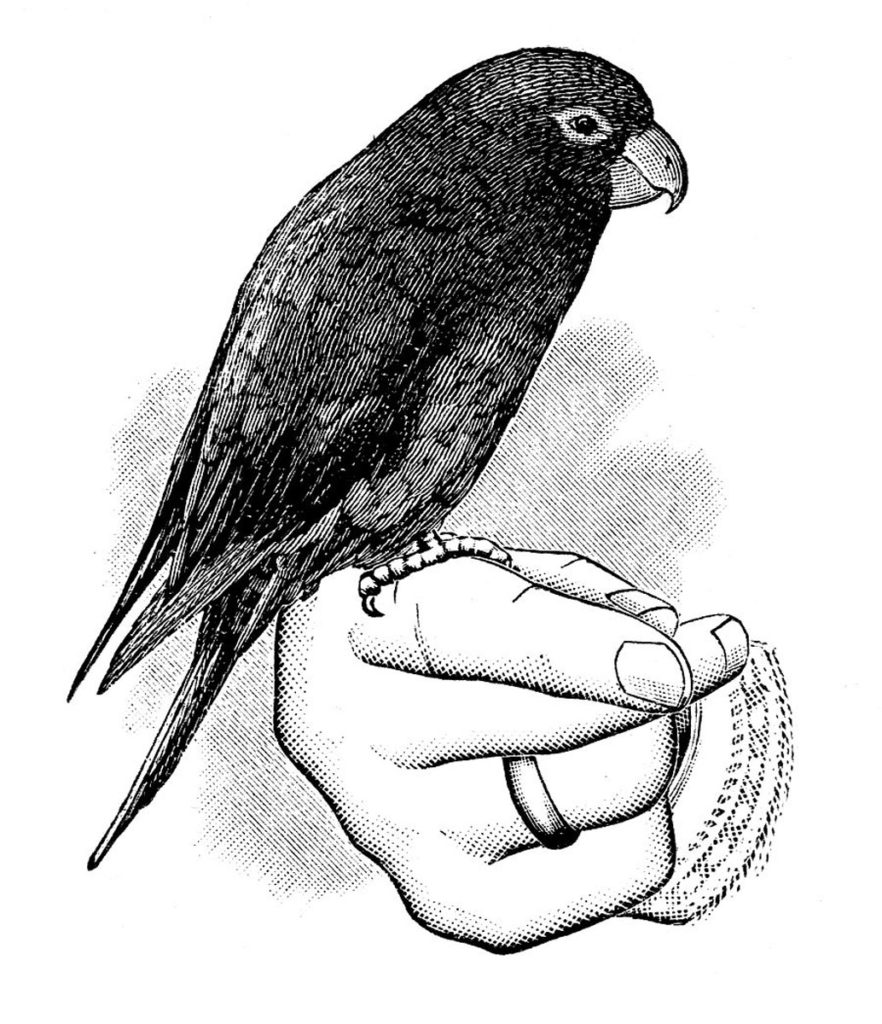 parrot black white perched hand clipart