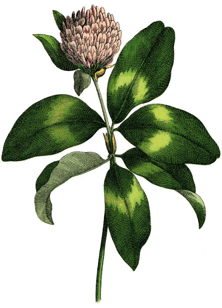 pink clover stem image