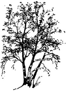 Birch Tree Clipart
