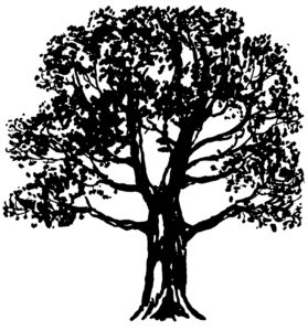 Sycamore Tree Image