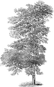 Tall Tree Engraving