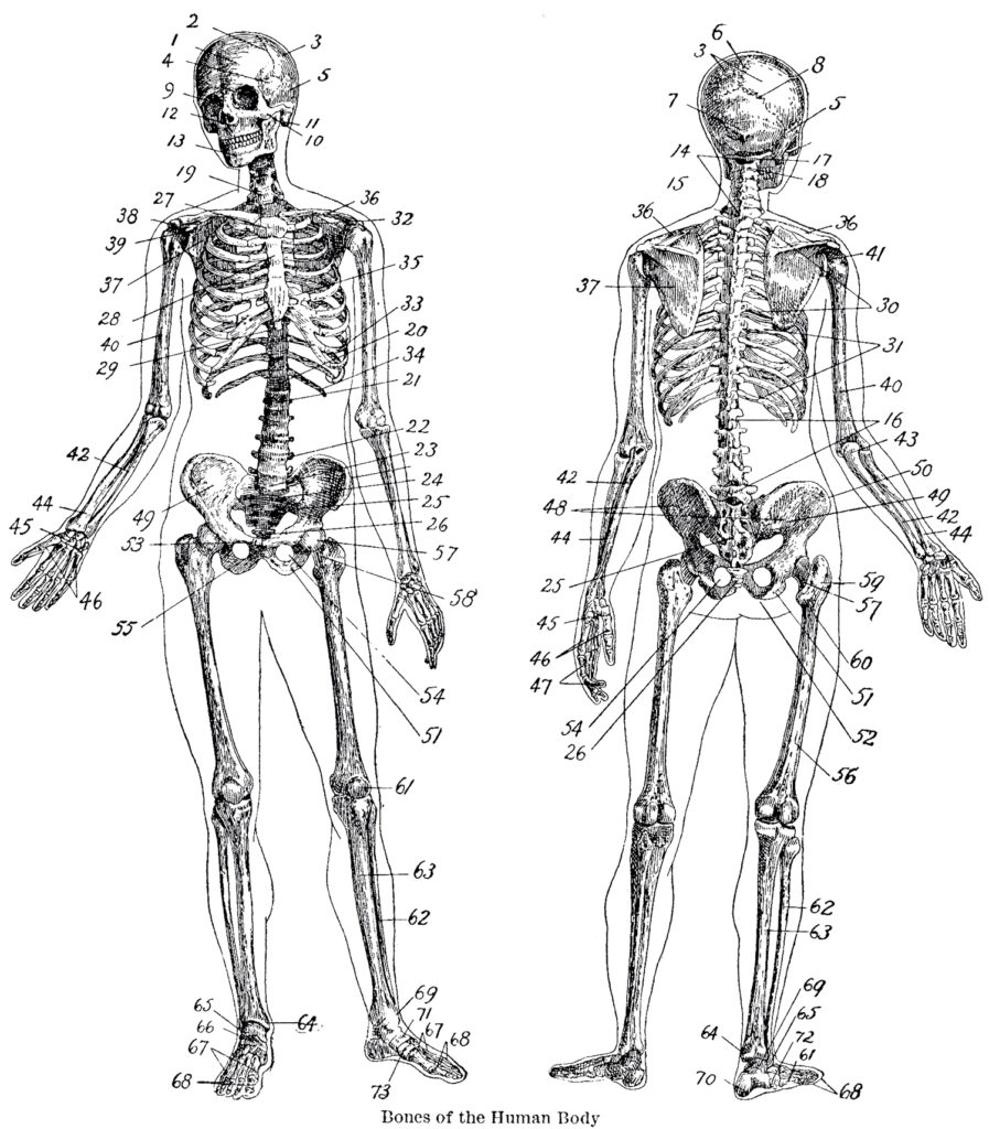 vintage anatomy skeleton image
