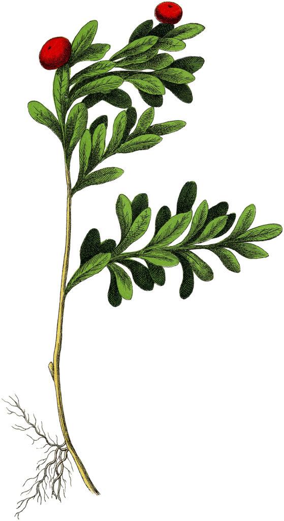 vintage berry botanical image