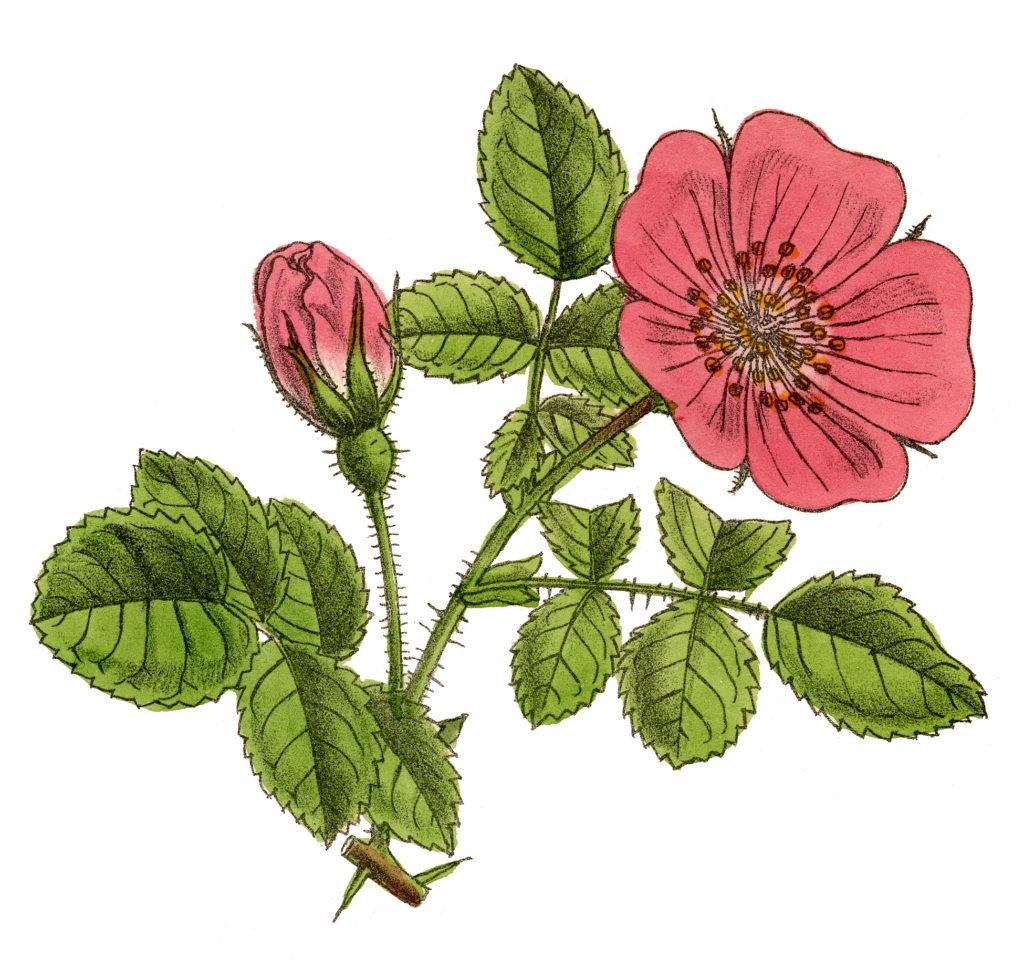 vintage pink wild rose image