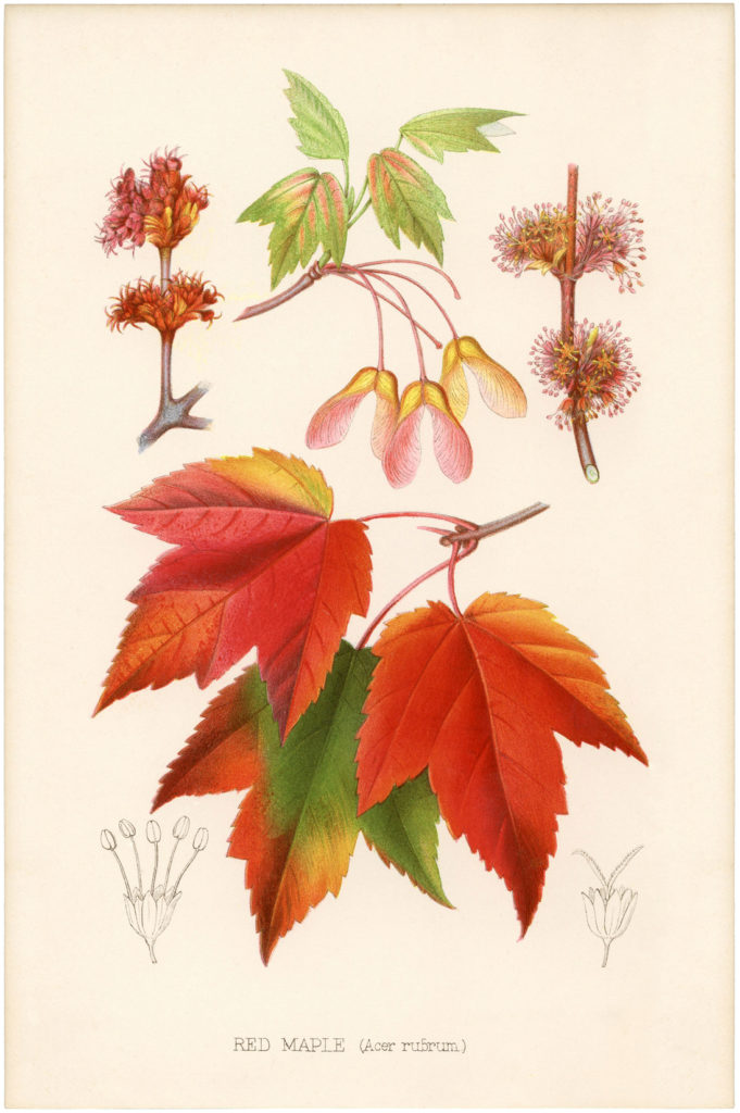 vintage maple leaves botanical image