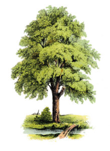 Shade Tree Image