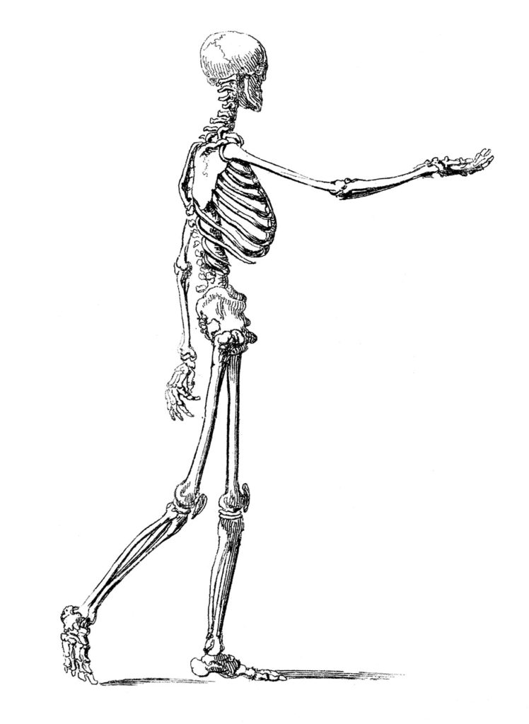 Walking Skeleton Man Image Anatomy
