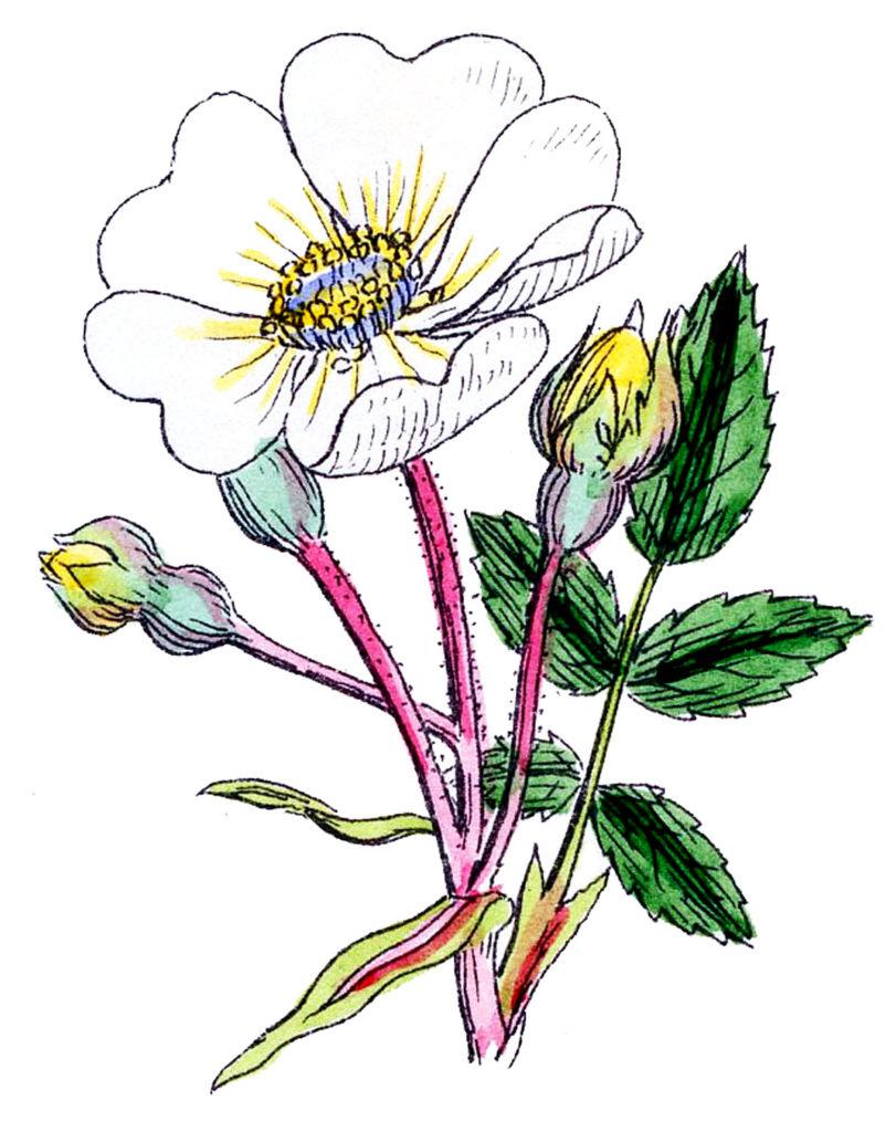 white wild rose image