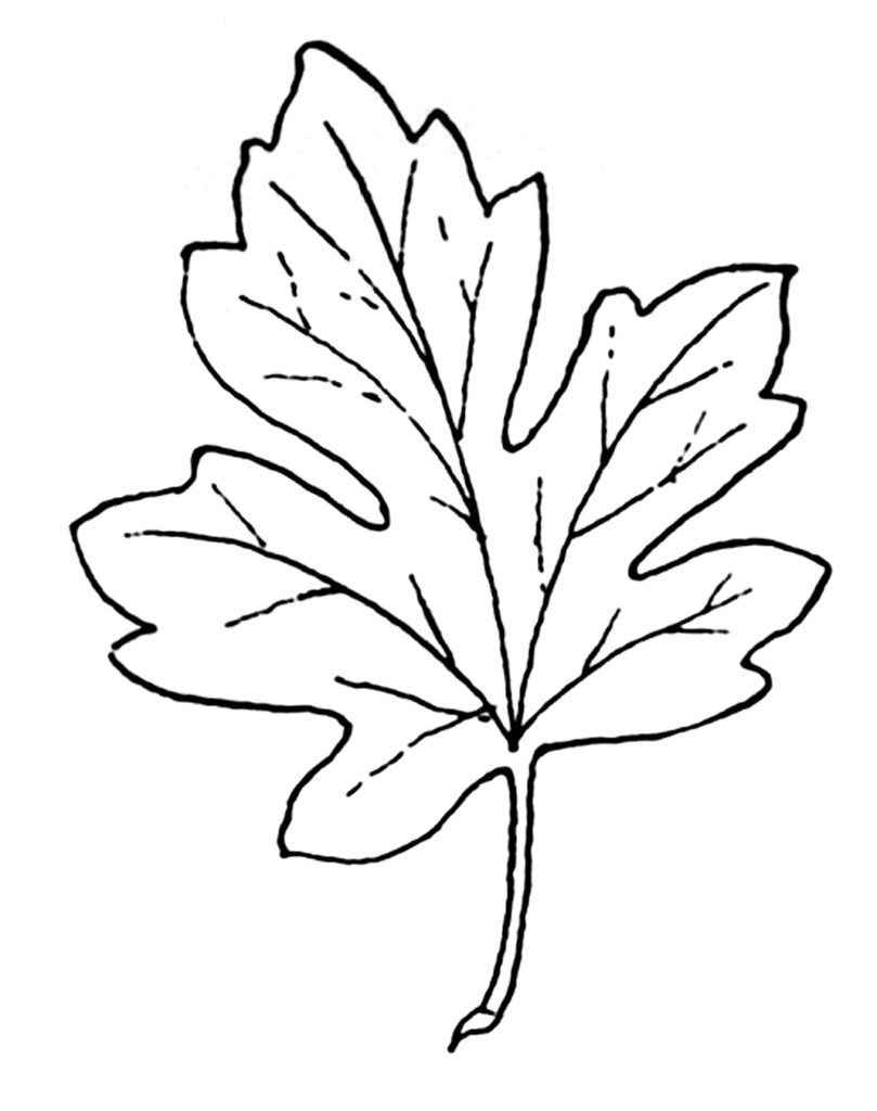 vintage black white maple leaf illustration