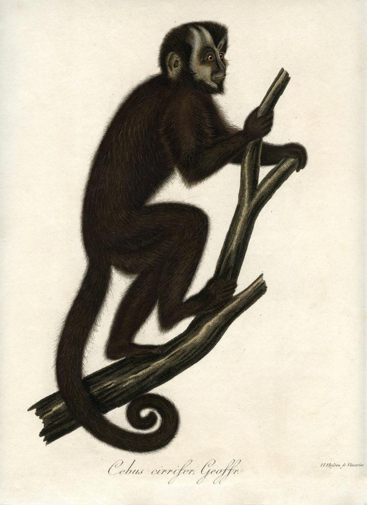 Natural History Monkey Printable