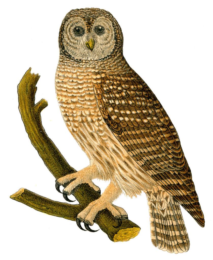 barn owl branch vintage image