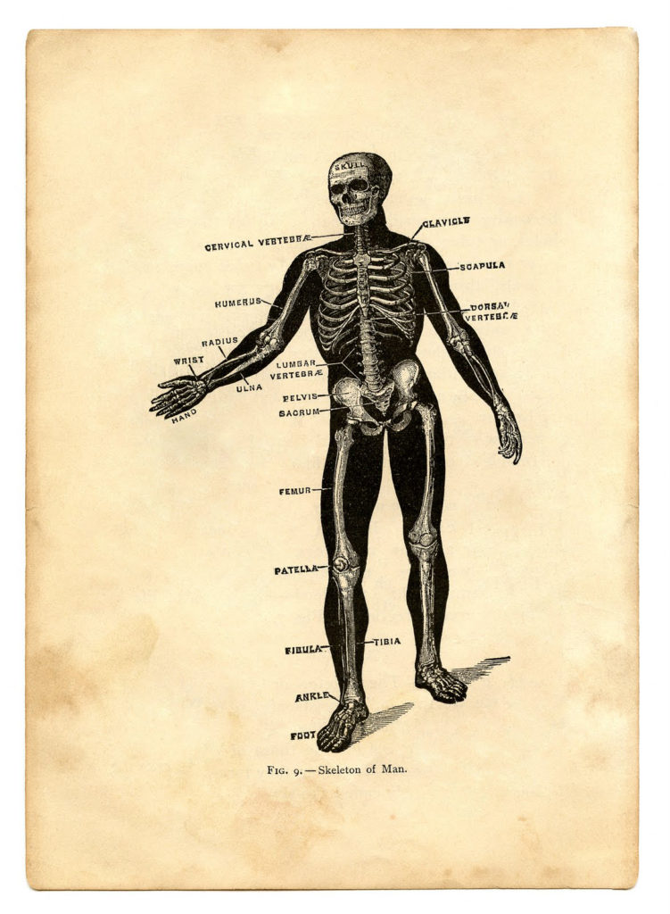 skeleton sepia anatomy image