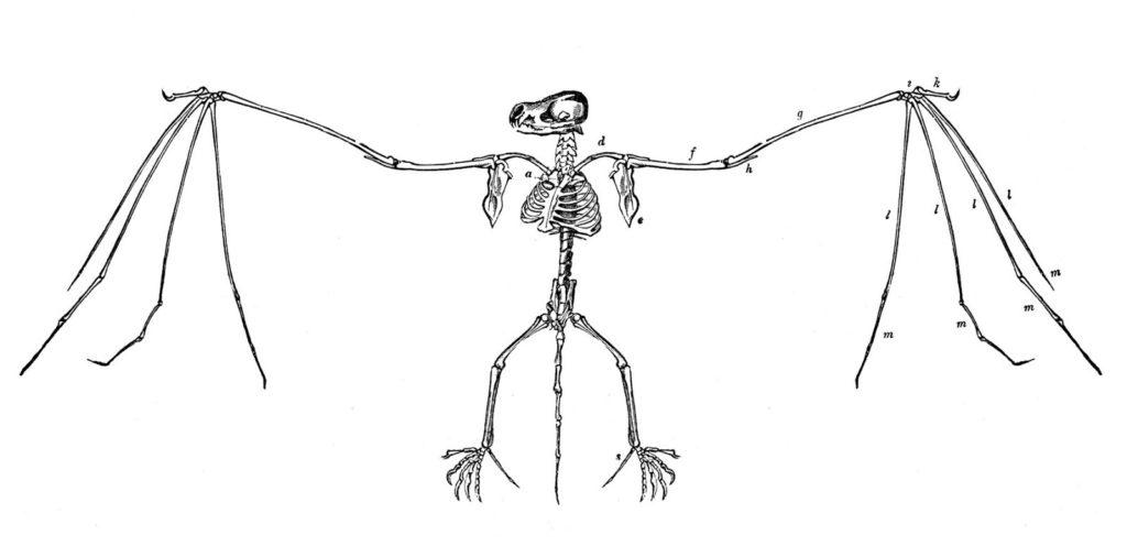 Bat Skeleton Vintage Image