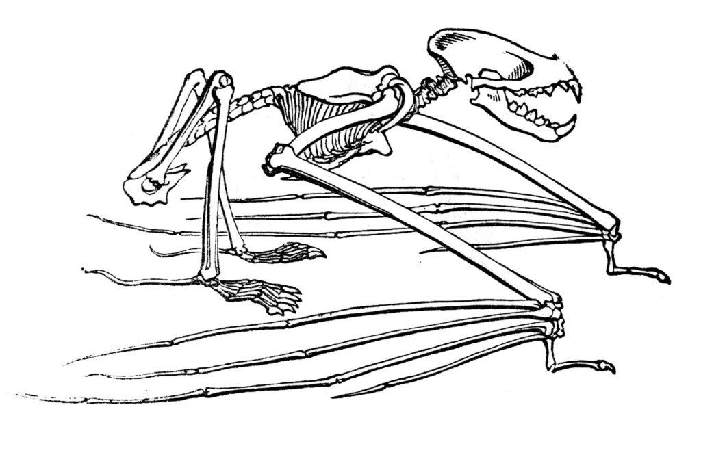 Bat Skeleton Vintage Clipart