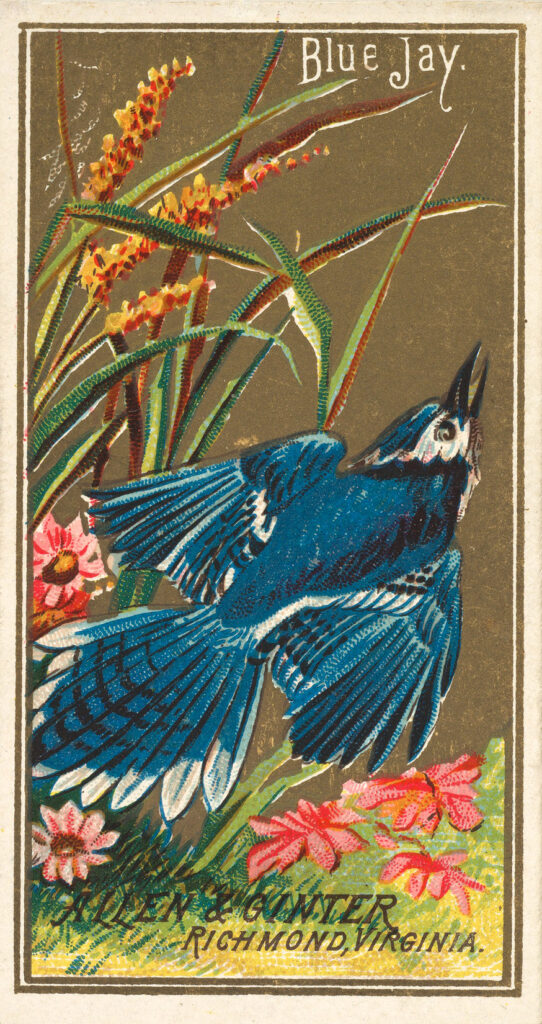 Blue Jay Ad Card Image