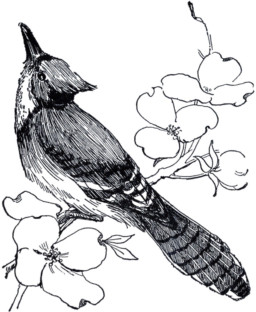 blue jay black white drawing