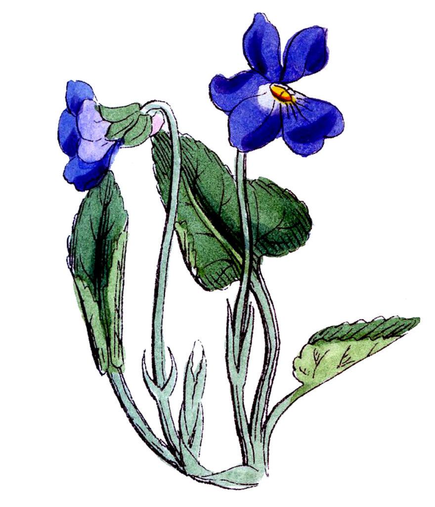 Blue Violets Vintage Image