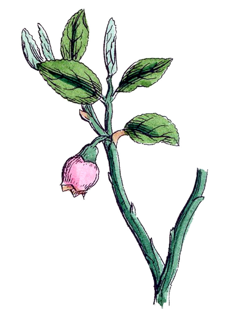 Botanical Wild Bell Flowers Illustration
