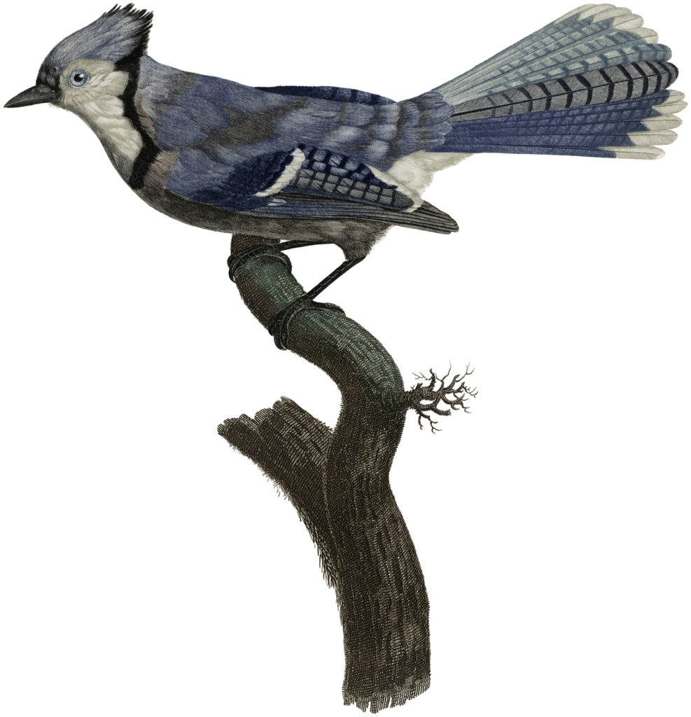 Natural History BlueJay Illustration
