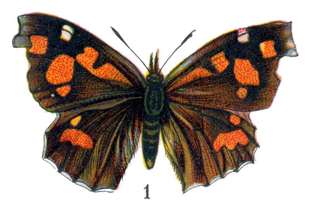 vintage orange brown butterfly moth image