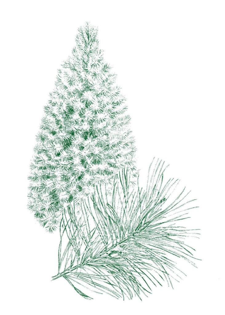 retro pine tree branch clipart