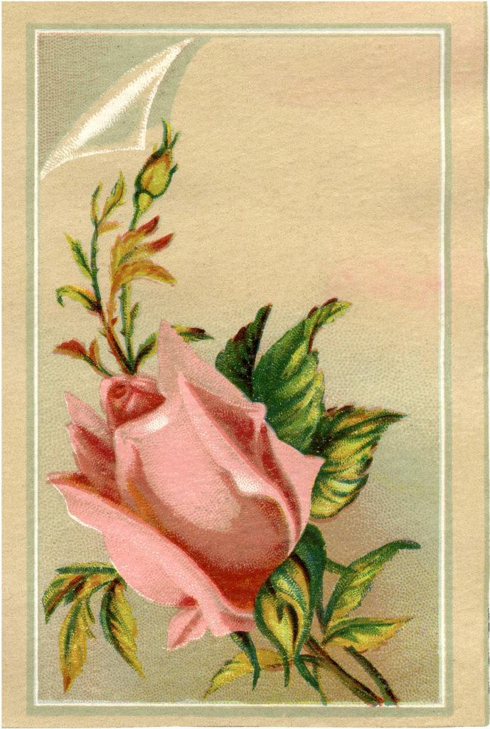 pink rosebud vintage image