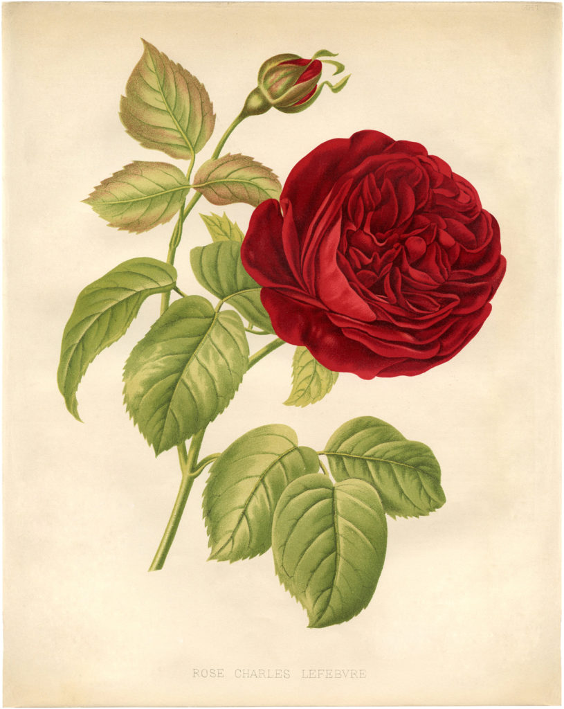 Vintage Red Rose Botanical Image