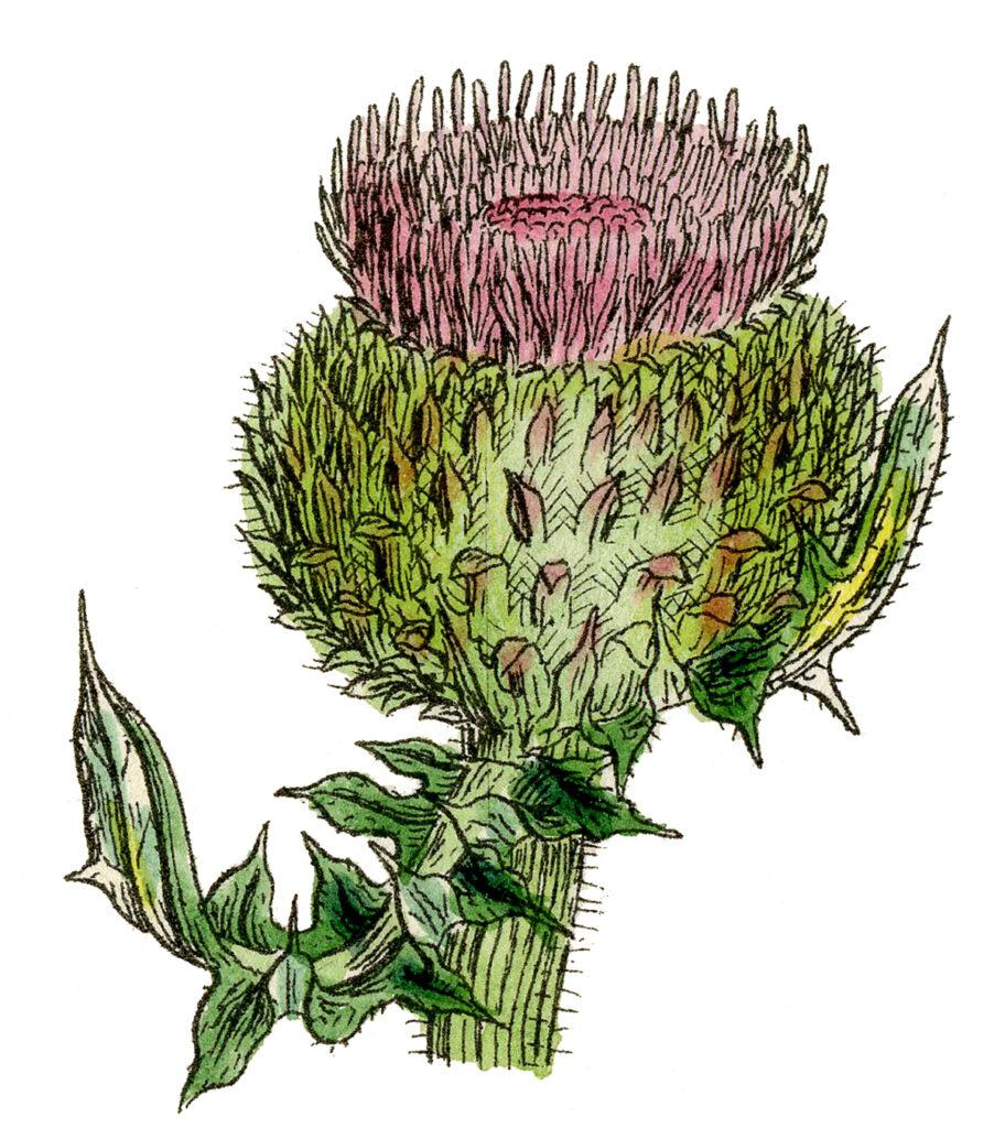 Thistle Wildflower Image