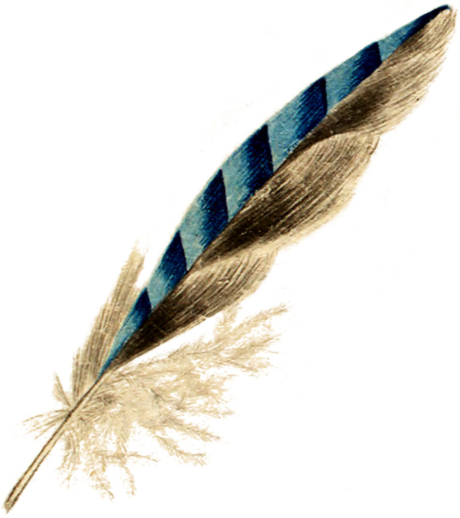 vintage blue bluejay feather illustration