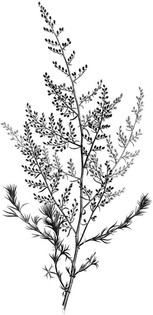 black white botanical illustration