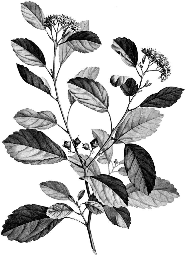 vintage botany floral clipart