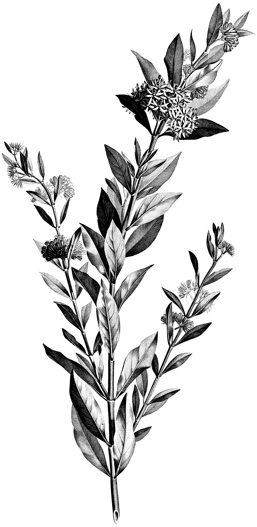 4 Black And White Botanical Stems Images The Graphics Fairy